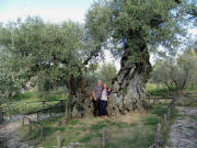 Olive tree S.Emiliano in Trevi-Bovara: 1700 years old
